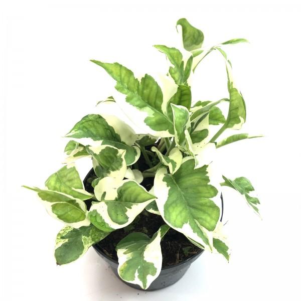Epipremnum aureum variegata