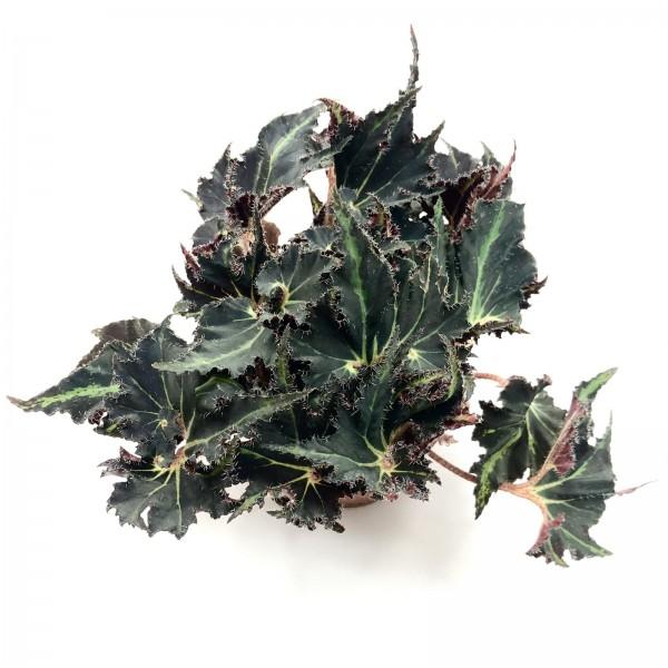 Begonia black jungle gem