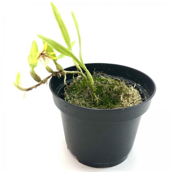 Epidendium polybulbon Orchidee
