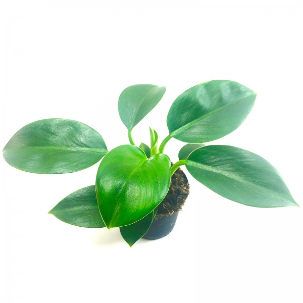 Philodendron princess