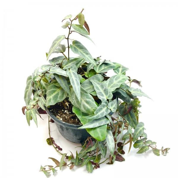 Parthenocissus amazonica Jungle Vine