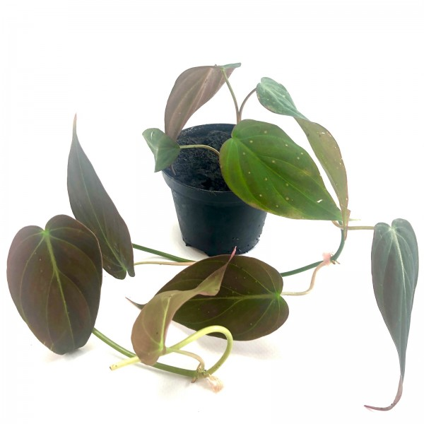 Philodendron hederaceum micans