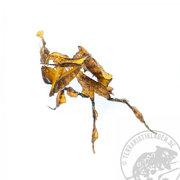 Phyllocrania paradoxa - Geistemantis