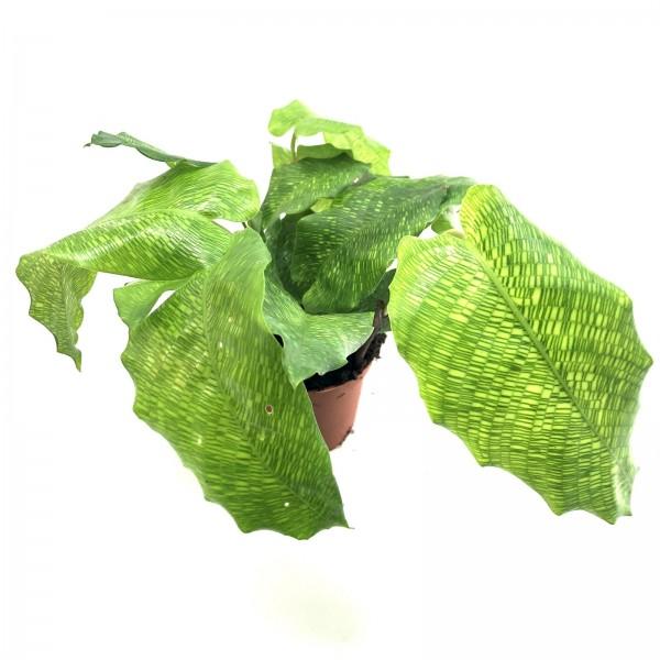 Calathea musaica