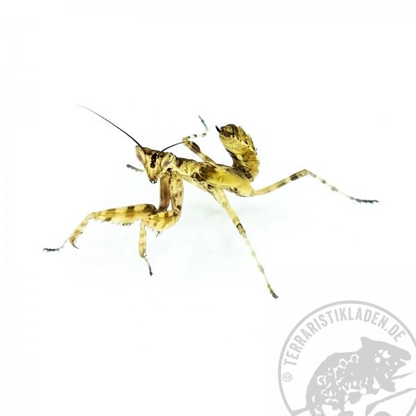 Creobroter gemmatus Bunte Javamantis
