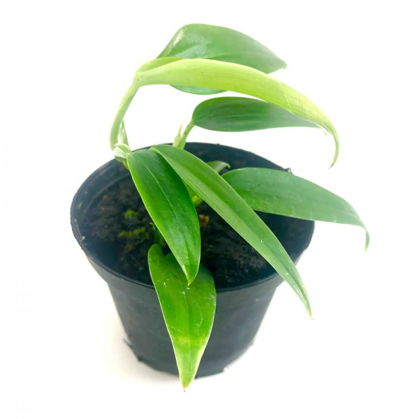 Philodendron spec. colombia