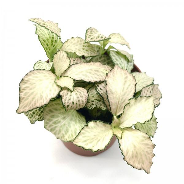 Fittonia Sunburst Mosaikpflanze