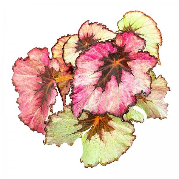 Begonia rex silver lila Blattbegonie