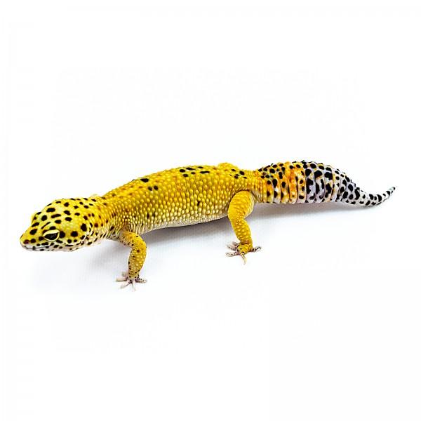 Tangerine Leopardgecko