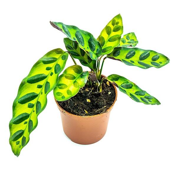 Calathea spec-tigrinum