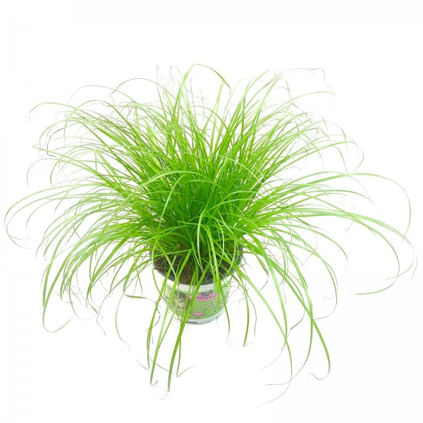 Kitty Grass A. cyperus