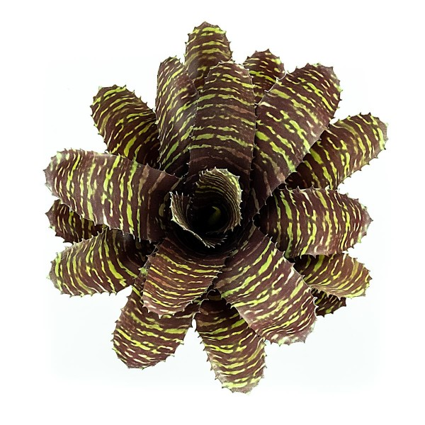 Chestnut Bromelie Terrarienpflanzen