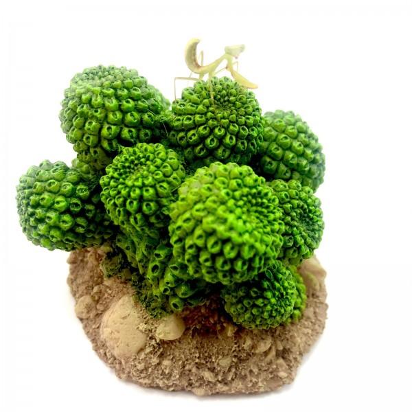 Hierodula majuscula