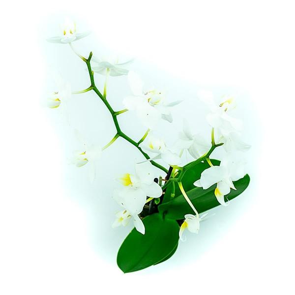 Phalaenopsis mini weiß