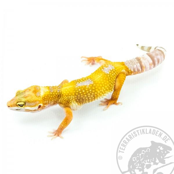 Leopardgecko Copper