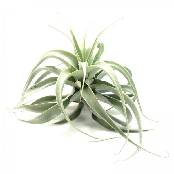 Tillandsia cacticola long form silver
