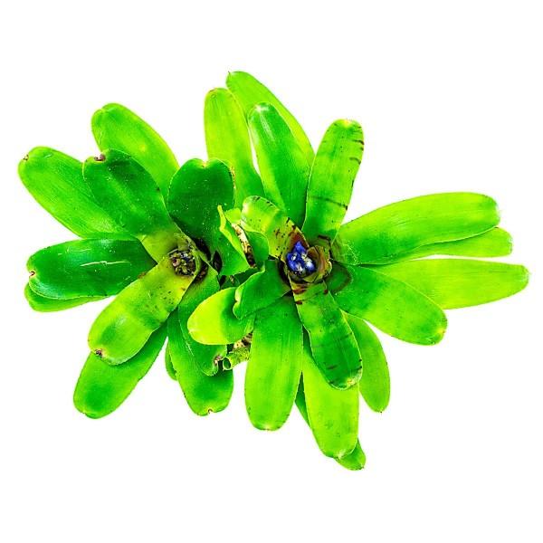 Neoregelia rubrifolia