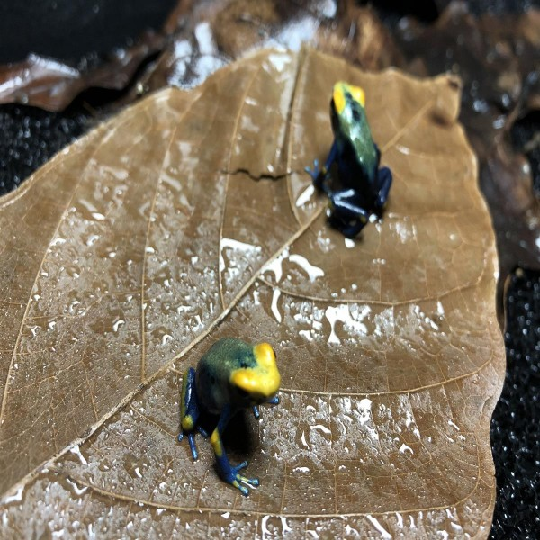 Dendrobates tinctorius tumucumaque