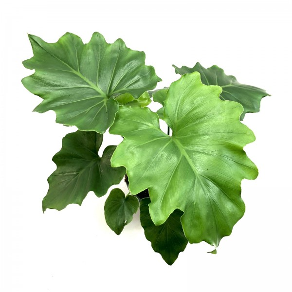 Philodendron shangrianum