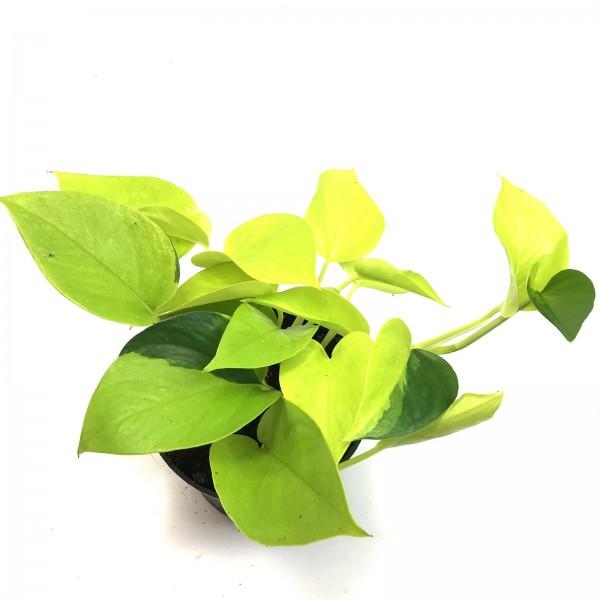 Epipremnum Golden Pothos variegata