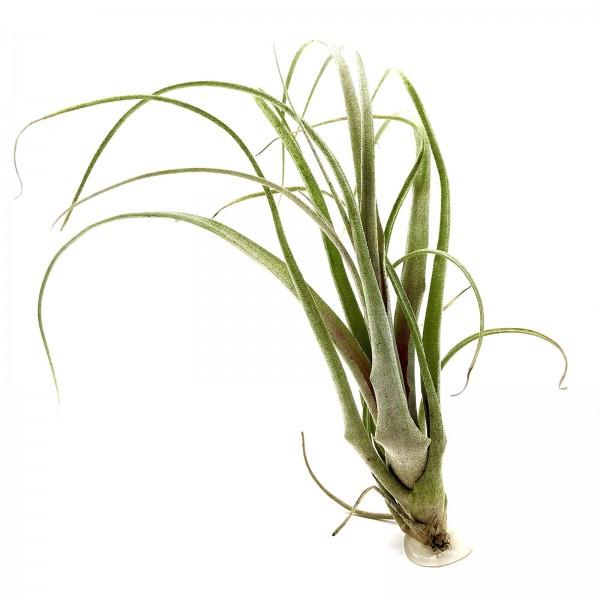 Tillandsia atroviolacea