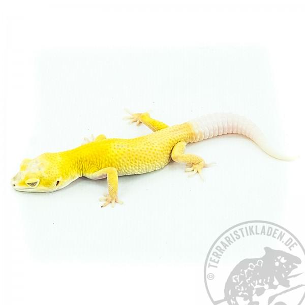 Albino Lemonfrost Leopardgecko E. macularius