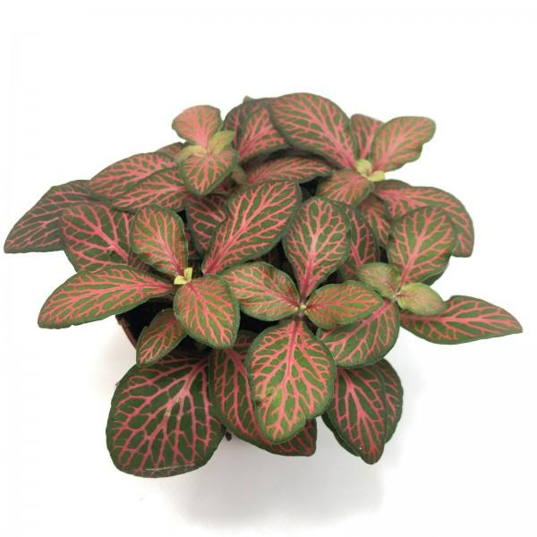 Mosaikpflanze Fittonia rot