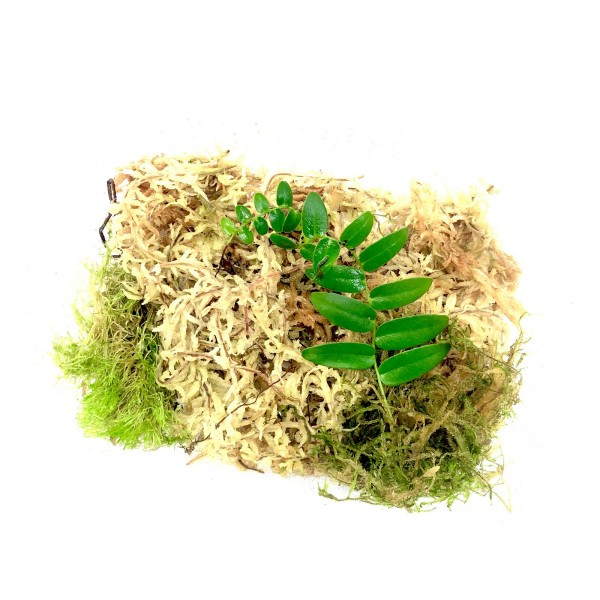 Marcgravia polyantha