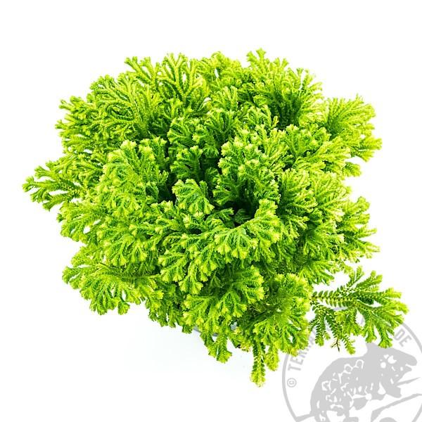 Selaginella martensii variegata Moosfarn