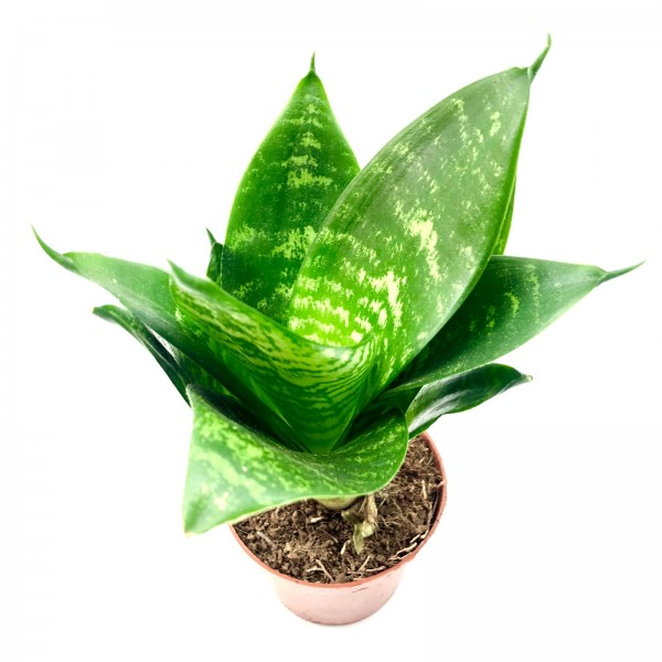 Sansevieria triefasciatus green