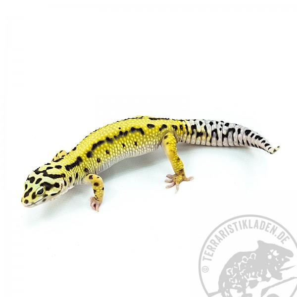 Leopardgecko 191 Giant Striped Bold Bandit