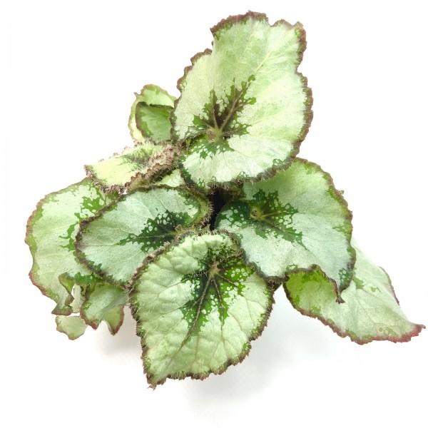 Begonia quadriocellata rex