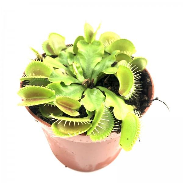 Venusfliegenfalle Fleischfressende Pflanze