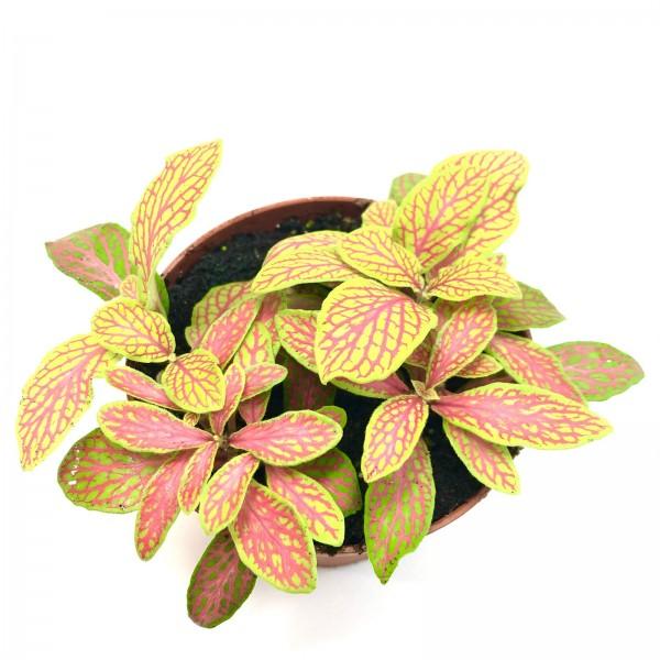 Fittonia neon Mosaikpflanze