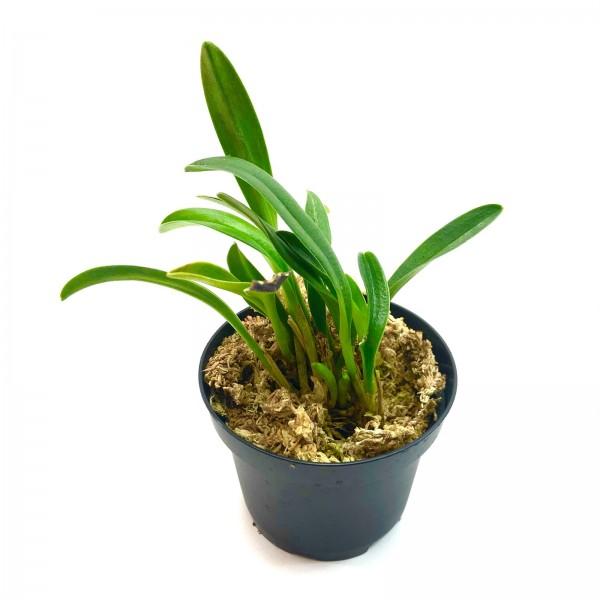 Masdevallia picea Orchidee