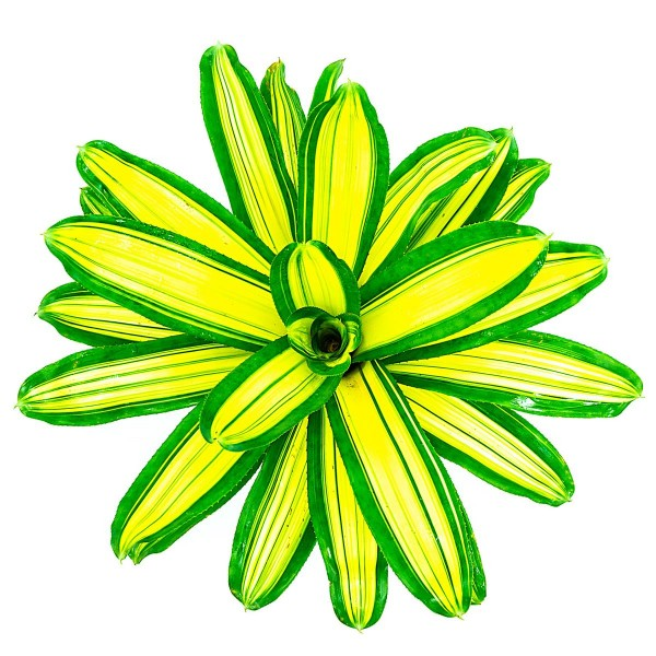 Neoregelia carolinae var tricolor devroe