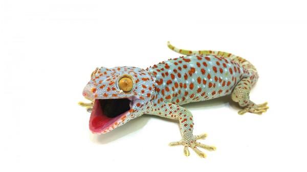 Gekko gecko Tokeh