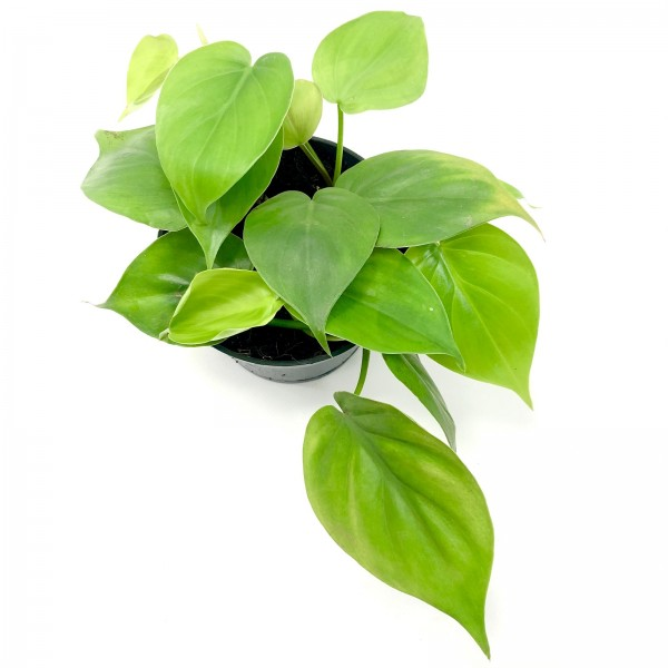 Philodendron Rankpflanze
