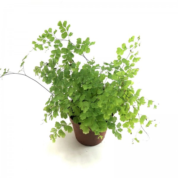 Adiantum rad fragrans Terrarienpflanze Farn