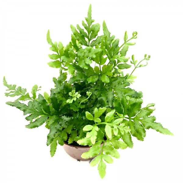 Pteris ensiformis evergreen