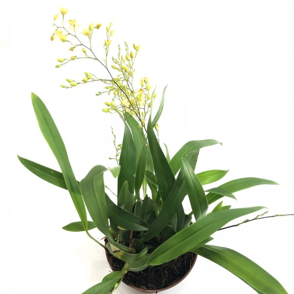 Oncidium fragrancia