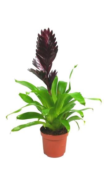Vriesea spp Violette