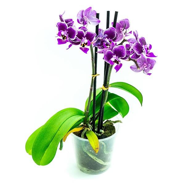 Phalaenopsis mini lila Orchidee